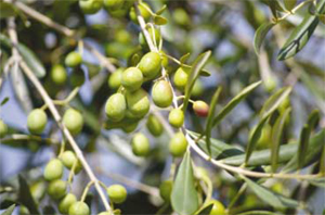 Turkey will produce electricity from olive waste